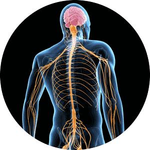 sist-nervioso-300x300